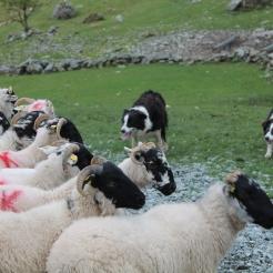 Je ziet er schapen samen gedreven worden door honden