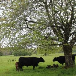 Kerry cattle, een zeldzaam en oud melkras uit Ierland