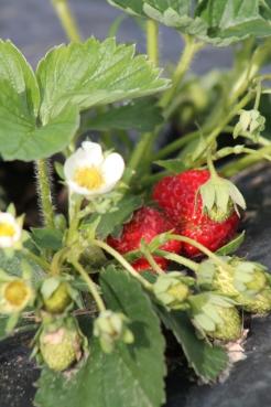 De eerste van vele aardbeien