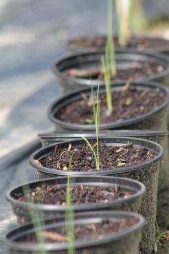 Ajuin klaar om uitgeplant te worden