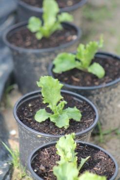 Ijsbergsla ook aan het wachten om uitgeplant te worden