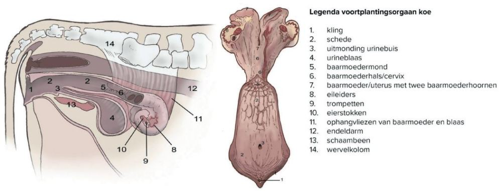 Voortplantingsorganen koe